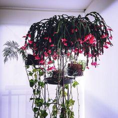 """23 curtidas, 1 comentários - Regiane Reis :} (@regianereiis) no Instagram: """"Minhas plantas 😍 🌾#Plantas #flores #sacada #boanoite"""""""