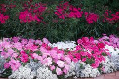 AWESOME COMBINATION -- Bouquet Purple dianthus is the perfect companion to petunias, Dusty Miller and Sweet Alyssum.    SPRING COLOR -- (inset) Bouquet Purple dianthus is at home in this spring garden with anise hyssop and periwinkles.
