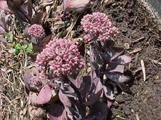 Hylotelephium 'Vera Jameson' - Plant Finder