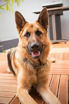 Useful Dog Obedience Training Tips – Dog Training Dog Search, Schaefer, Best Dog Training, Training Online, German Shepherd Dogs, German Shepherds, Aggressive Dog, Service Dogs, Dog Behavior