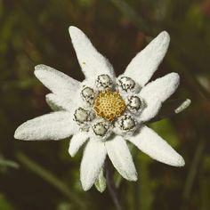 Edelweiss é essa florzinha branca, peludinha e em forma de estrela que víamos bastante em Phortse, no Himalaia, Nepal.  É uma flor alpina das montanhas e dos Alpes que nasce e sobrevive acima de 1.700 metros de altitude. A flor Edelweiss simboliza amor eterno por isso diz a lenda que muitos apaixonados se arriscavam escalando os Alpes em busca da flor do amor eterno. Os que retornavam com um buquê de Edelweiss provavam que eram valentes e merecedores do amor da sua amada.  Quem assistiu o…