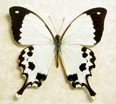 Madagascar Swallowtail Butterfly
