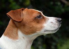 Jack Russell Terrier - Portrait