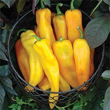 """Mamma Mia Giallo Hybrid Pepper. AAS judges declared this a """"great yellow pepper"""". Bright yellow tapered fruits grow 7 to 9 inches long and are very uniform with smooth skin and sweet flavor that is excellent fresh, roasted or grilled. The plants are somewhat compact at 20 to 24 inches tall with excellent leaf coverage to protect the peppers from sunburn and strong stems to support the heavy yields of up to 30 fruits per plant."""