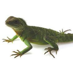 Owning a reptile pet is tons of fun. The new ReptileCare Center at the petMD website gives pet owners advice and answers questions to get them started. Amphibians, Reptiles, Mammals, Lizards, Wild Bird Food, Wild Birds, Chinese Water Dragon, Pocket Pet, Dog Health Tips