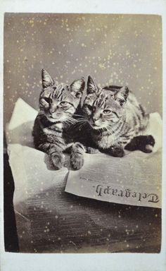 "Charming image from the ""Brighton Cats"" series by Harry Pointer. British, 1870's"