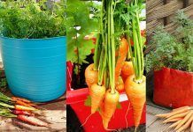 Growing Carrots In Containers: How To Grow Carrots In Pots
