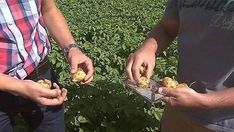 How to Grow Potatoes From Store Bought Potatoes - Gardening Channel Grow Potatoes, Planting Potatoes, Potato Gardening, Backyard Vegetable Gardens, Deep Winter, Food Staples, Fresh Vegetables, Sprouts, Harvest