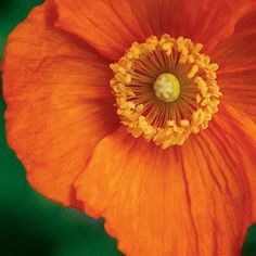 CMP Photography, orange poppy