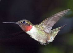 Ecstatic, love, happiness, beat of life, miracle of joy of living, shows endurance so you don't burn yourself out, teaches ability to heal, enhances awareness with an ability to move and act accordingly. Hummingbird shows how to accomplish what seems impossible and how to bring the miracle of joy back into your life. Hummingbird reminds us to find that happiness in all things.