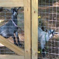 nice goat fence...
