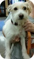 Phoenix, AZ - Schnauzer (Miniature)/Terrier (Unknown Type, Small) Mix. Meet Mark a Dog for Adoption.