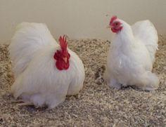"Attēlu rezultāti vaicājumam ""cochin bantams for sale"" Bantam Chicken Breeds, Bantam Chickens, Pekin Chicken, Chicken Coops, Duck Breeds, Hobby Farms, Hens, Poultry, Rooster"