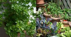 Cómo cultivar perejil en maceta. ¡Bienvenido al huerto urbano!