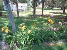 Back yard lillies