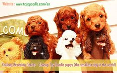 toy poodle,teacup poodle,tiny toy poodle,pedigree poodle,poodle for sale,poodle breeder,beautiful poodle puppy,the smallest dog  --------------------------------------------  JiaQiao (Youlong Breeding Center)  Teacup Toy Poodle puppy for Sale International Delivery Available  Website : http://52993344.com/en  Line ID : teddymommy75 Whatsapp : +886975785398  QQ: 603042543 SKYPE: teddy52999 Email: a5299.a3344@msa.hinet.net (check daily basis)           teddy5299@hotmail.com