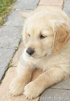 Small obedient golden retriever puppy lying down on the pavement