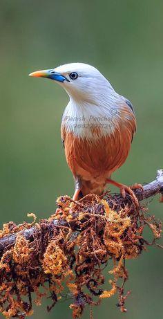 Pretty Birds, Love Birds, Beautiful Birds, Small Birds, Colorful Birds, Yorky, Starling, Sea Creatures, Bird Feathers
