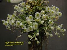 Grupo Orquideófilo del Norte Santafesino: Orquídeas argentinas: Zygostates alleniana
