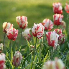 An heirloom favorite, red and white Estella Rijnveld is a beautiful parrot tulip perfect for bouquets and elegant in gardens.