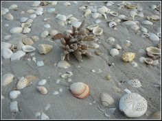 Shells on Eighty Mile Beach WA Great Places, Shells, Photographs, Australia, Beach, Conch Shells, The Beach, Seashells, Photos