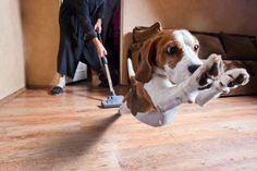 Ηλεκτρική σκούπα; Ο μεγαλύτερος εχθρός! Πώς θα σταματήσουμε την επίθεση του σκύλου μας σε αυτή;