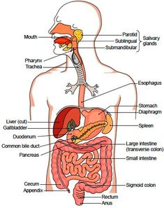 Diagram Of Human Organs   Free Diagrams Human Body Human Body Organ Diagram Appendix The