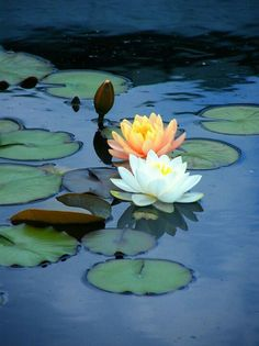 Water lilies - reminiscent of the Lotus Dome - Adrian Mendoza, author of The Kaleidoscope Lily Pond, Water Garden, Fruit Garden, Love And Light, Belle Photo, Planting Flowers, Flowers Garden, Beautiful Flowers, Beautiful Body
