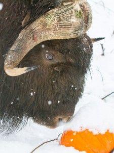 Alaska Wildlife Conservation Center