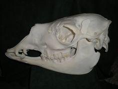 Llama Skull Adult Male Side by Minotaur-Queen on DeviantArt Animal Skeletons, Animal Skulls, Gaster Blaster, Skull Reference, Llama Alpaca, Animal Bones, Skull And Bones, Creature Design, Taxidermy