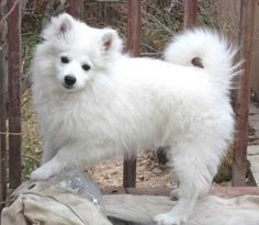 The Miniature American Eskimo Dog is really a very heavy shedder. He sheds an awful lot of hair! You will find hair all more than your house, stuck to every thing! Miniature American Eskimo, American Eskimo Puppy, American Husky, Love My Dog, Cute Puppies, Cute Dogs, Dogs And Puppies, Doggies, Alaska Dog
