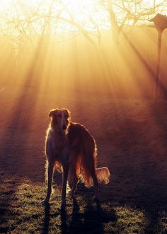 Borzoi at dusk. Morning glory by Llayaz, via Flickr. #borzoi