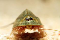 """Triops - a genus of 1-3"""" hardy, seasonal crustaceans, some species considered living fossils, easily bred  with nearly indestructable eggs, often marketed in 'grow your own' type kits"""