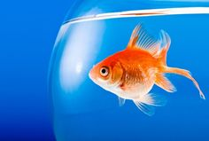 Goldfish Trained To Discern Between Bach and Stravinsky - Science News - redOrbit
