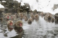 This is the life...... cold breeze - hot springs!  Love these little Japanese macaques!
