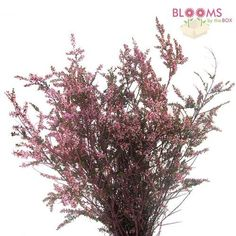 Wholesale Calycinia Heather Pink - Heather Pink - Blooms by the Box