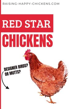 Red Star chickens are a favorite of commercial egg producers and for good reason - they're genetically designed to produce eggs day after day. But are Red Star Chickens a good choice for a backyard flock? Find out in this comprehensive article about them. #redstarchickens #raisingchickens Raising Backyard Chickens, Chicken Breeds, How To Stay Healthy, Poultry, Birds, Stars, Commercial, Eggs, Red
