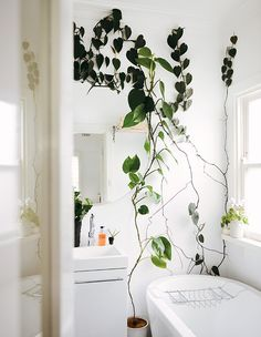 Outstanding Farmhouse Garden Ideas Inspiration Outstanding Farmhouse Garden Ideas Inspiration Best Inspirations To Make Indoor Wall Climbing Plants Green Thumb Indoor Climbing Plants, Indoor Plants, Climbing Vines, Climbing Wall, Bathroom Inspiration, Interior Inspiration, Bathroom Ideas, Interior Ideas, Bathroom Styling