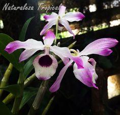 Flor de la especie Dendrobium nobile