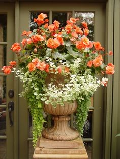 Beautiful Tangerine Begonia With Variegated Ivy in a garden container.