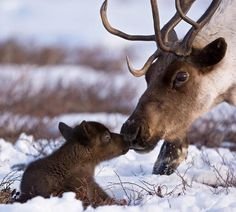 Caribou mama and baby in the snow.