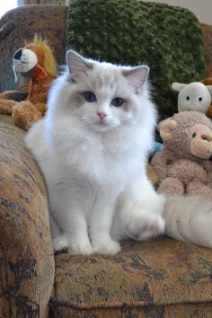 best images ideas of ragdoll kitten / kitty - most affectionate cat breeds cute cat and kittens Cute Cats And Kittens, Cool Cats, Kittens Cutest, Pretty Cats, Beautiful Cats, Pretty Kitty, Most Beautiful Cat Breeds, Fluffy Cat Breeds, Photo Chat