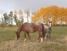 FIERY SAGE - 2002 AQHA RED ROAN MARE (IN FOAL) FOR SALE: FOUNDATION blood. Royally bred! Used as broodmare only. This mare, is quiet, easy to handle. I can deliver anywhere in Canada. #northernhorse #horsesforsale
