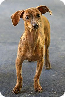muttdachshundwhippetmix Doxie Love Pinterest