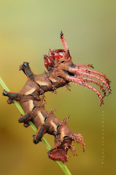 Hickory Horned Devil caterpillar  photo by `Blepharopsis    http://blepharopsis.deviantart.com/