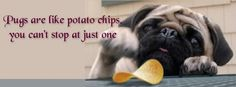 Pug Facebook Cover Photo For Your Timeline. Pug Quotes: Pugs are like potato chips, you can't stop at just one.