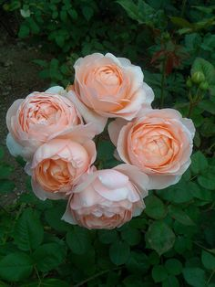 Austin's Ambridge Rose... I cut the center king bud and see how the rest of the buds open! Wow!