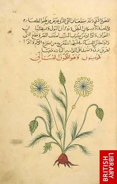 ARABIC VERSION OF DIOSCORIDES' DE MATERIA MEDICA , Dated Baghdad AH 735 (1334 AD). Or.3366. Copyright ©The British Library Board.