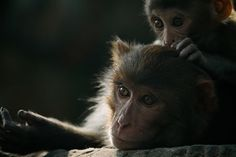 Macaques, Kathmandu  Photo by Sam Morris -- National Geographic Your Shot