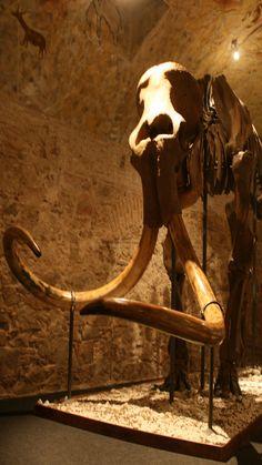 Esquelet real d'un mamut llanut. Esqueleto real de un mamut lanudo. Real skeleton of a woolly mammoth.